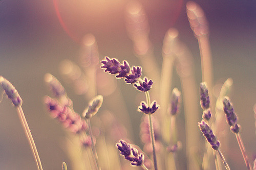 prettylittleflower: lavender (by pretty♥pixels)