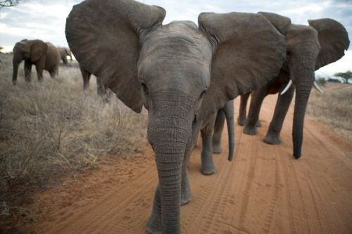 African elephants walk along a dirt road in Kenya's Samburu National Park.