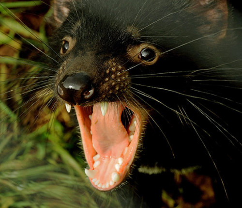 A 14-month-old Tasmanian devil bares its teeth at Devil Ark in the Barrington Tops area of Australia's New South Wales state. At Devil Ark situated deep in eastern Australia's cattle and thoroughbred country, a group of endangered tasmanian devils are being taught to forage in the wild as researchers race a contagious cancer threatening the species with extinction.  Photograph: Greg Wood/AFP/Getty Images
