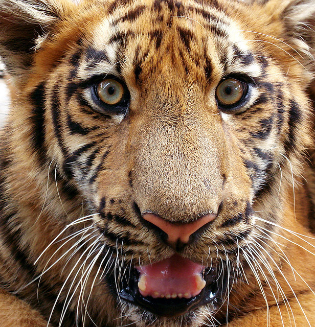 s-untiger:  f-elin:  Eyes of the tiger by Swamibu on Flickr.  ✿ NATURE & WILDLIFE BLOG ✿