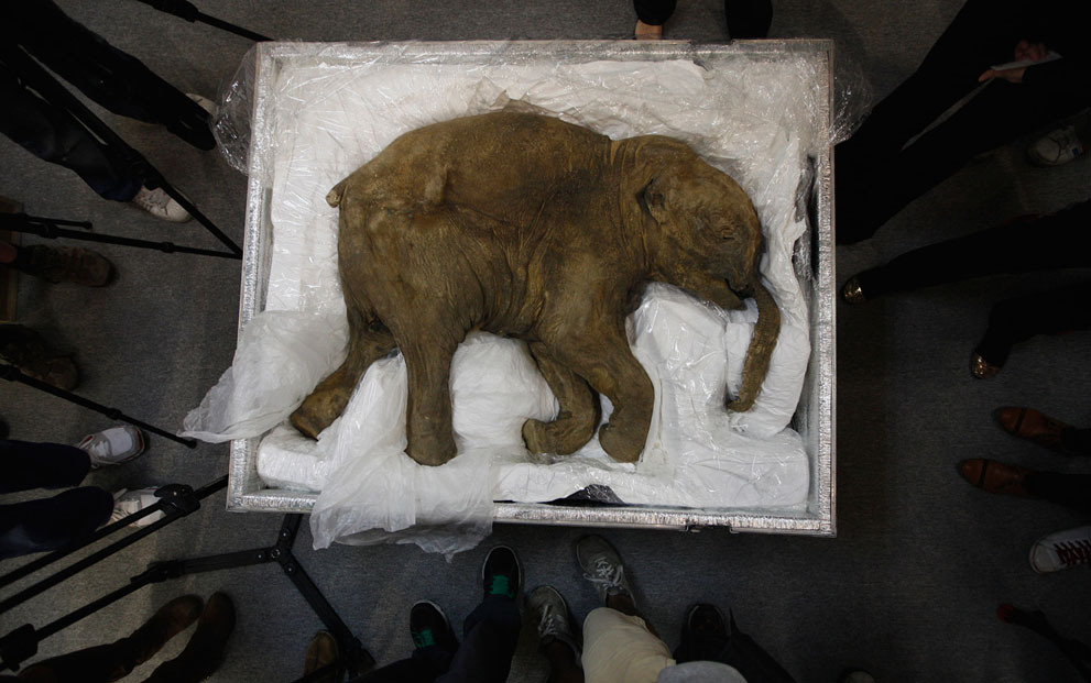 earth-song:  The carcass of a well-preserved baby mammoth, named Lyuba, is seen during a media preview in Hong Kong, on April 10, 2012. Lyuba, whose carcass is 40,000 years old, was found by a reindeer herder in Yamal Peninsula in Russia in 2007. She will be exhibited at IFC Mall in Hong Kong on April 12.