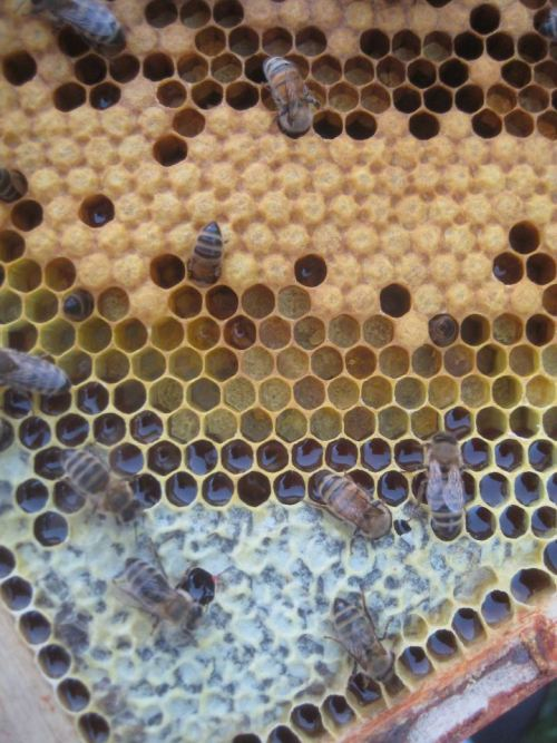 """Here's a great example of the different looks of capped honey [bottom] and capped brood [top]. In between are cells filled with pollen."" [via BeeMentor]"