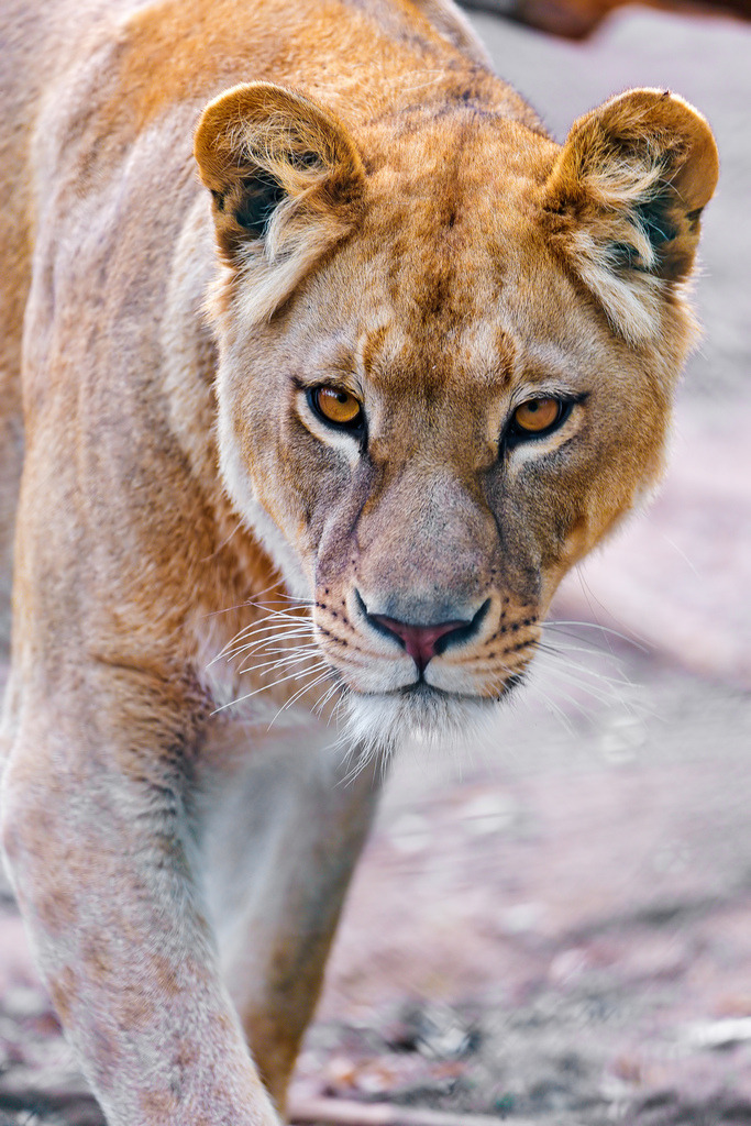 probably the most perfect lioness ever.