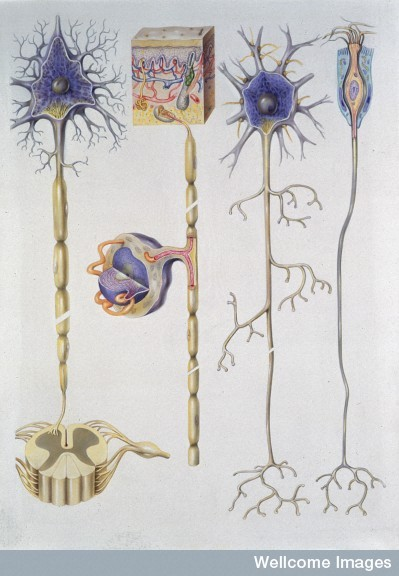 Normal Anatomy, Types of Neuron Find and use this image on Wellcome Images.
