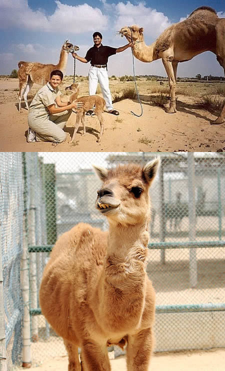 This hybrid animal, the product of breeding a llama and a camel, has been the only creature of this kind since her birth in 1995. Camas are humpless and have the long fluffy coat of a llama. Their ears are half way in length between camels and llamas, but they have the strong, desert-ready legs of a camel.  Photographer unknown, photo found here