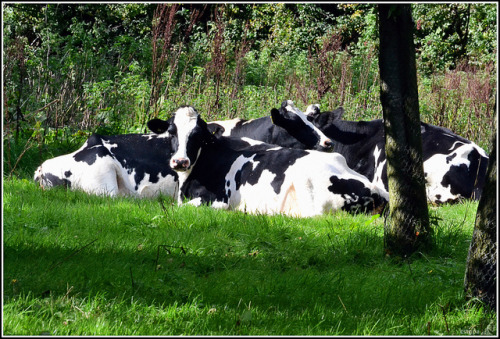 Plenty of grass for the cows by cstgpa on Flickr.