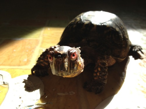 Not sure if fake eyes or one pissed off tortoise