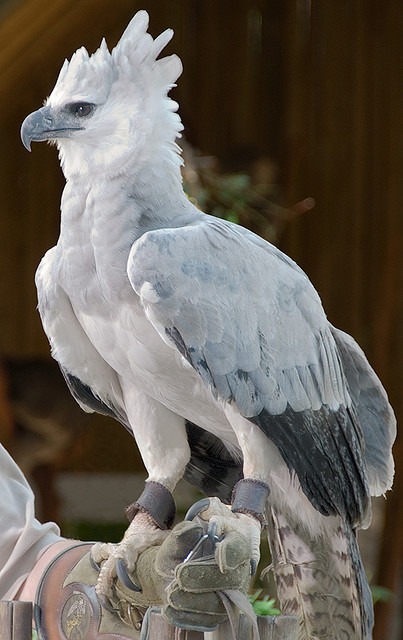giraffe-in-a-tree:  Harpy Eagle (Harpia harpyja) by Gamma Infinity on Flickr.