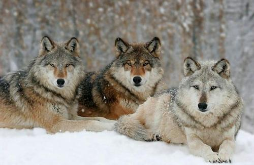 Wolf Pack, photo by Gary Jacobson