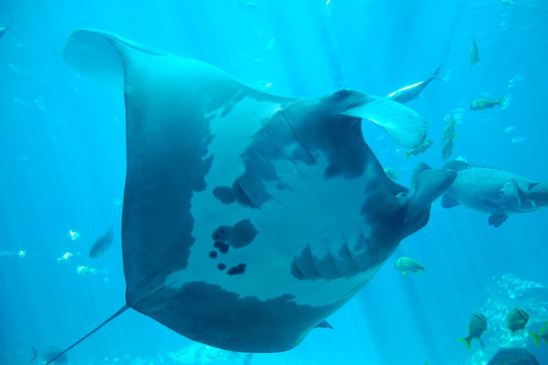 DSC_0366 on Flickr.Manta Ray Taken by me.