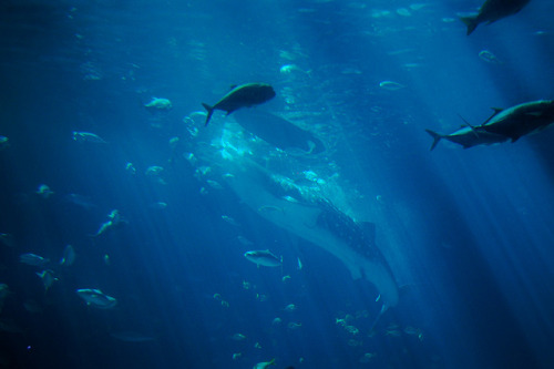 DSC_0368 on Flickr.Feeding a Whale Shark. Taken by me.