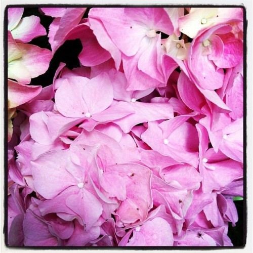#hydrangea #pink #beauty #spring #amsterdam #instadaily #bestoftheday #igers (Taken with Instagram at shanti house)