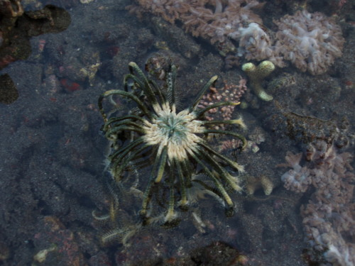 orbiculator:  A green feather star on the move due to the low tide. It was almost like seeing your grandma's favorite, potted plastic fern suddenly coming alive.  Reblog mostly because of that comment ^ XDD Looks like belong to the Comanthus genus…
