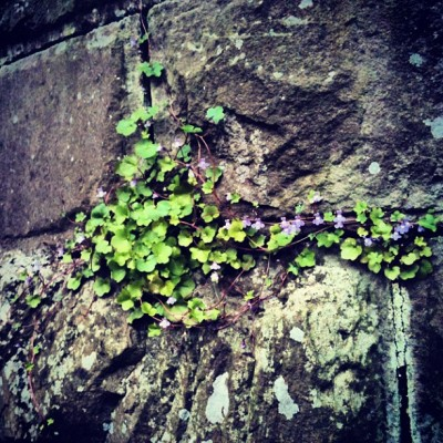 Ivy Flowers #wall #brick #brickwall #ivy #lilac #purple #flower #flowers #forest #countryside #wildlife #nature #scotland #plants (Taken with instagram)