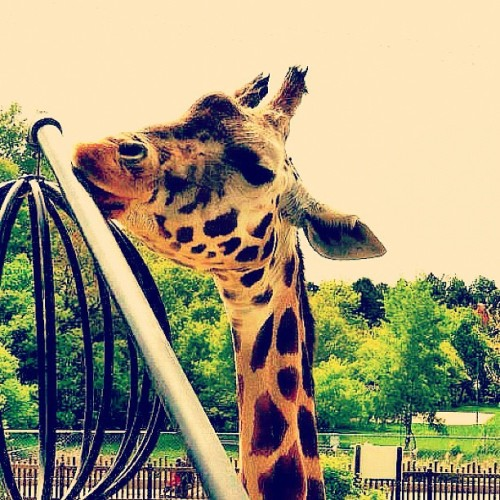 #giraffe #animal #zoo #safari #africa #yellow #orange #brown #neck  (Taken with instagram)