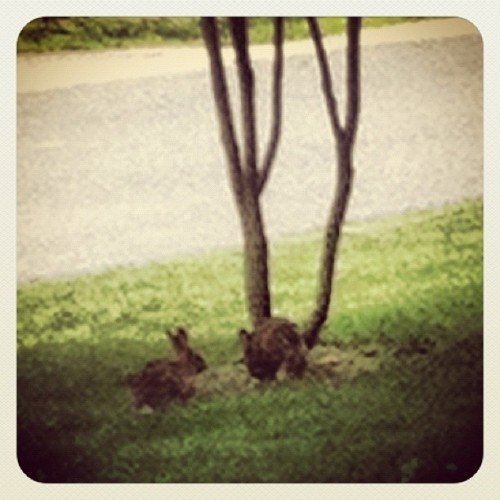 These two rabbits have been playing and chasing each other in my front yard for 20 mins now. #Winning  (Taken with Instagram at Casa de Nesbitt)