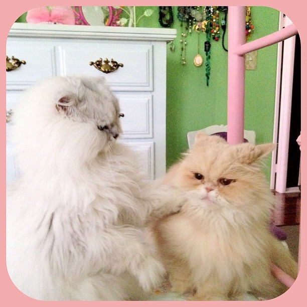 """Calm down!"" (Felix & Puffy) #pets #cat #persiancat #catsofinstagram  (Taken with instagram)"
