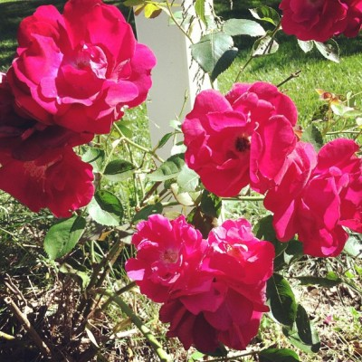 Our rose bush is happy for the mild winter (Taken with instagram)