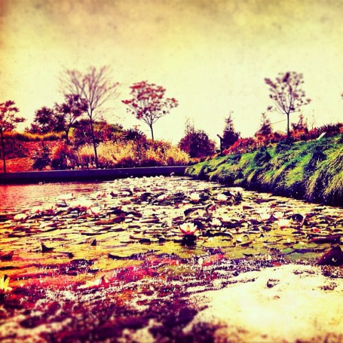 #lilly #pads #flowers #pond #cityscape #relax #explore #plants #landscape #peaceful #serene #playa #vista #la #instagram #picoftheday #instagirl #photooftheday #iphoneography #iphoneonly #ig #california (Taken with Instagram at Playa Vista Trail)