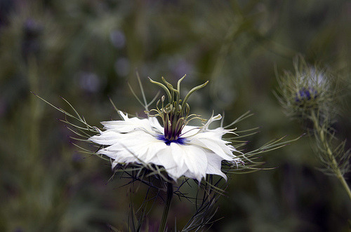 isaac-lonetree:  Love-in-a-Mist (by russell.tomlin)