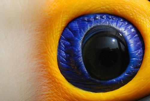 the beautifully saturated colours of the eye of a tucan. photographer is unknown