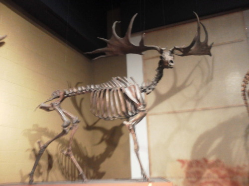 "Megaloceros giganteus or Irish Elk Megaloceros giganteus (Megaloceros from Greek meaning Great Horn and giganteus from Latin meaning Giant) or the Irish Elk was one of if not the largest deer to ever exist. Though it is called ""Irish Elk,"" it is not closely related to the American Elk (Cervus canadensis,) or the Eurasian Elk, known in North America as the Moose (Alces alces,) and as such has been referred to as the Giant Deer in some publications.  We first have evidence of it arising in the mid Pleistocene, ~400,000 years ago, lasting until the early Holocene, about 7,700 years ago (from the latest known specimen.) It ranged from Ireland, where most specimens have been found in peat bogs, all the way across Eurasia to East of Lake Baikal, the world's oldest lake, which is at least 25 myo. It stood about 2.1 meters high (6.9 feet,) and had magnificent antlers, with the largest known being 3.65 meters in width (12 feet,) it had the largest known antlers of any other cervid (deer.)  This is my picture of the mounted specimen at the Cleveland Museum of Natural History, forgive me for its blurriness, I was using a phone camera, and I do not have the steadiest of outstretched arms."