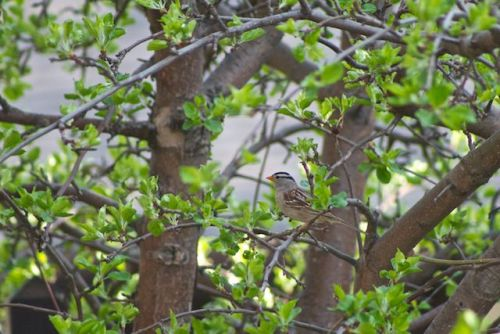 A very active White-crowned Sparrow(Zonotrichia albicollis) feeding like a beast on the ground.