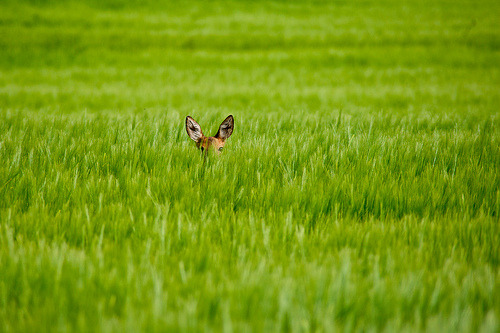 A Shy Bambi in the greenfield (by Swissrock)