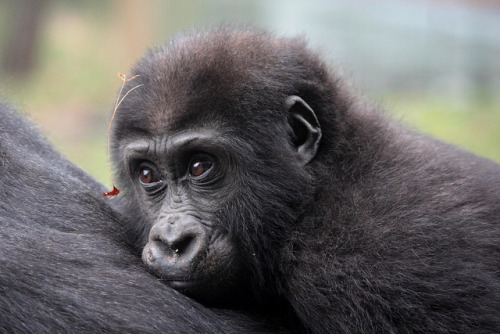 worldlyanimals:  Baby Gorilla on Mother's Back (K.Verhulst)