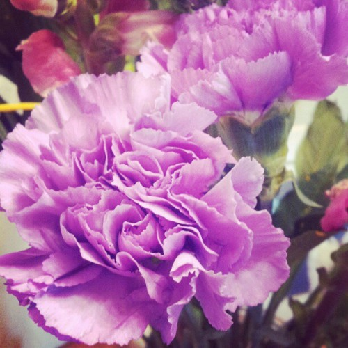 #purple #carnation soo cute :] (Taken with instagram)