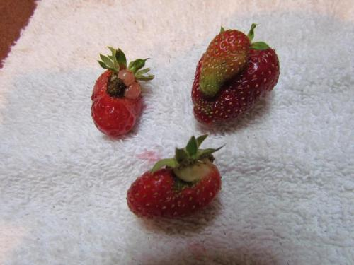 Strawberries from East Tennessee, USA, Homegrown, 5.08.2012