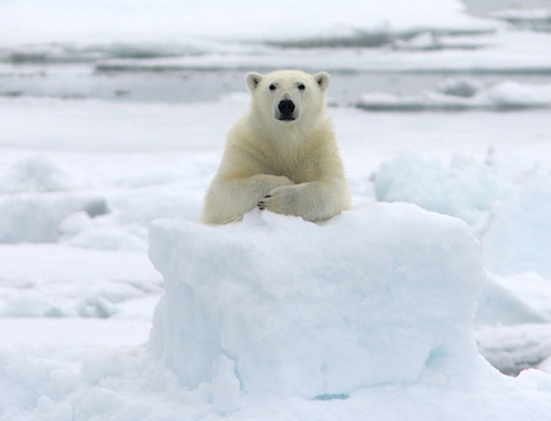 kwanzeoncalling:  geekhideout:  So, you want to know about polar bears do you  お前それ北極でもおんなじ事言えんの?