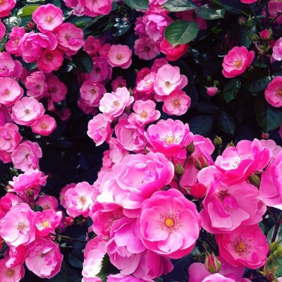 #rose #flowers #flower #pink (Taken with instagram) @instacanv.as