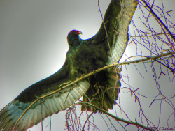 Winter Beauty Series….by Jeanean Gendron A beautiful pair of Turkey Vultures were busy in this tree on a cold Winter Day as I drove to a new listing (Realtor Photographer here). I stopped my car and took many shots of the pair. Never managed to get them in the same frame. They were Grand!
