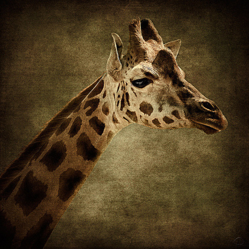 I love giraffes..they are so elegant and gracious and their eyes are beautiful….
