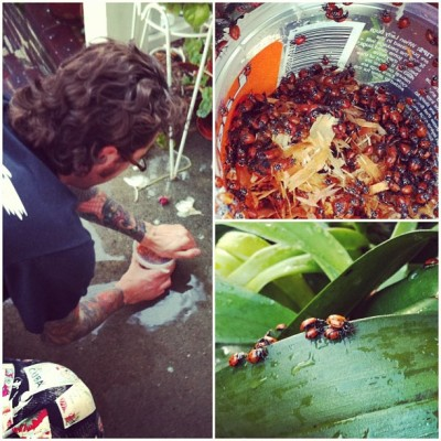 nightclubjitters:  @billbyerstattoos letting #ladybugs loose into the #garden yesterday #flowers #bugs #insects (Taken with instagram)