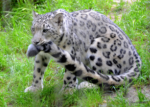 tigersandcompany:  Snow leopard (by jb_baskin)