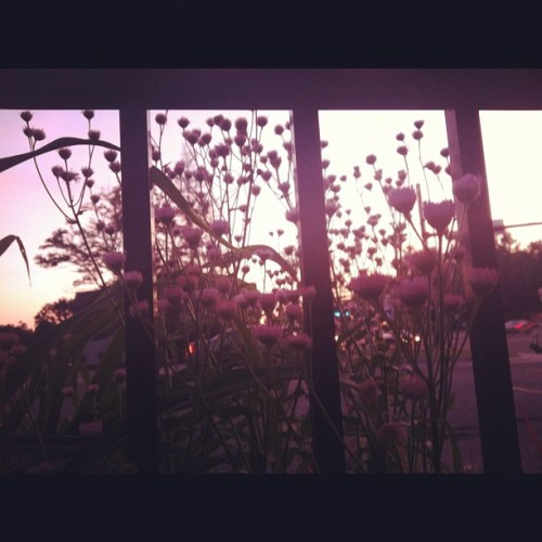 Flower entrapment  (Taken with instagram)