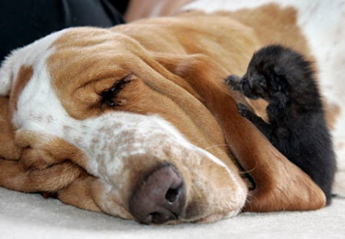 Basset hound nurses orphaned kittens, complete with video!