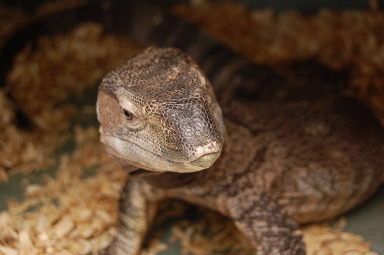 Varanus ionidesi, the Black Throat Monitor