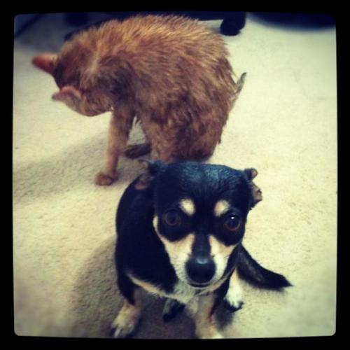 freshly bathed smelly cat and stinky dog… what a chore to have these guys cleaned up!