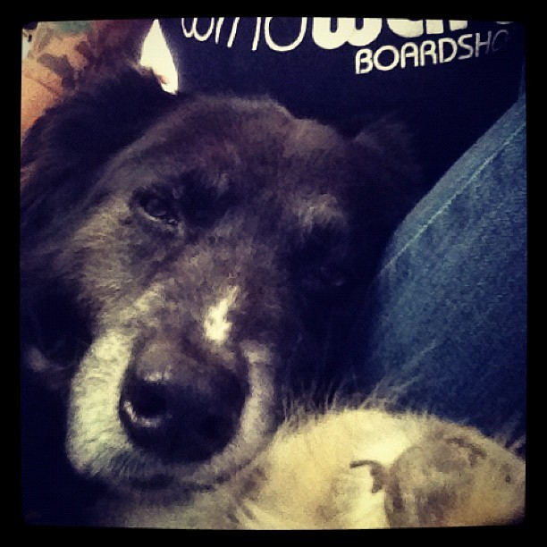 My old man is beat from our hike. Snuggle time! #ilovemydog #dog #pets #animals  (Taken with instagram)