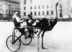 vintagegal:  Josephine Baker has harnessed an ostrich to pull a racing sulky, c. 1920's
