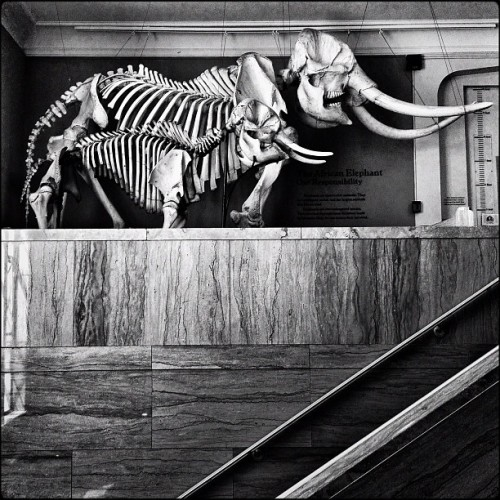 Elephant bones #iphone #procamera #snapseed #noir #bw #museum (Taken with Instagram at MSU Museum)