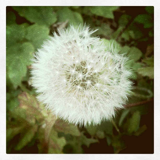 #midoramirez #dandelion #backyard (Taken with instagram)