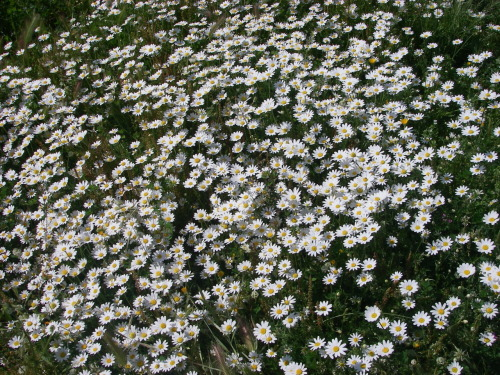 sinedca:  Carpet of daisies