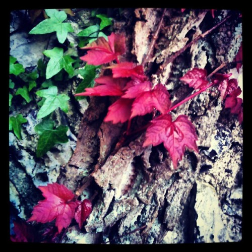 #Ivy #nature #green #red #texture #rough #ridges #brown #bark  (Taken with instagram)