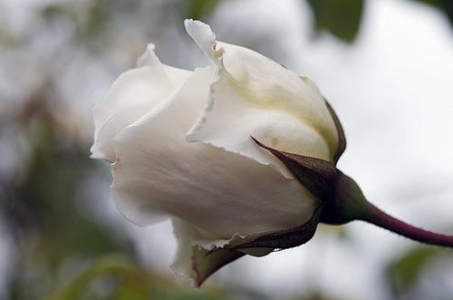 isaac-lonetree:  White Rose (by russell.tomlin)