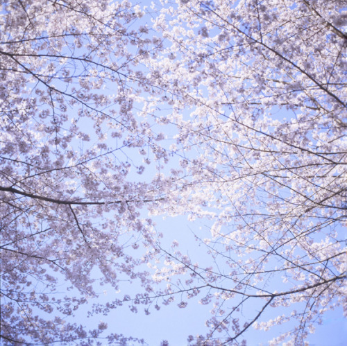 Sakura full bloom by yocca on Flickr.