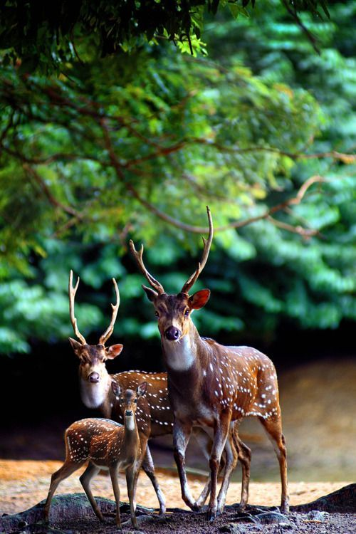 butterflygrace:  (via A deer family.)